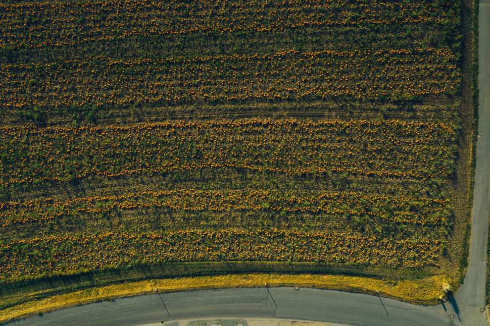 Luftbild Kürbisfeld auf der Hessenaue