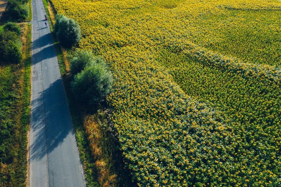 Luftbild Sonnenblumenfeld bei Trebur